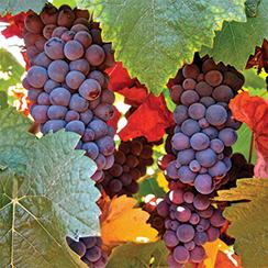 winemaking-244p